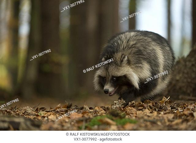 Raccoon dog ( Nyctereutes procyonoides ), invasive species, walking through a forest, with its nose on the ground, Europe
