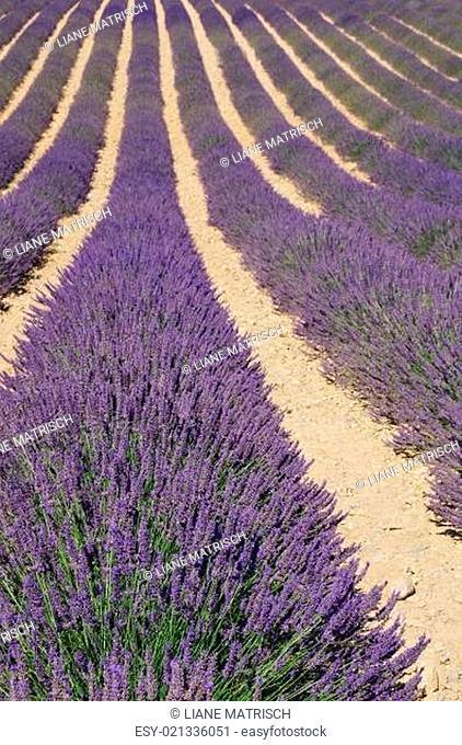 Lavendelfeld - lavender field 45