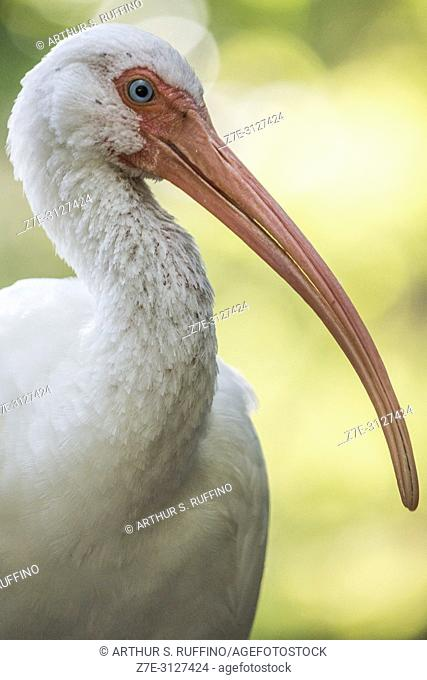 American white ibis (Eudocimus albus), portrait, Florida, U. S. A. , North America