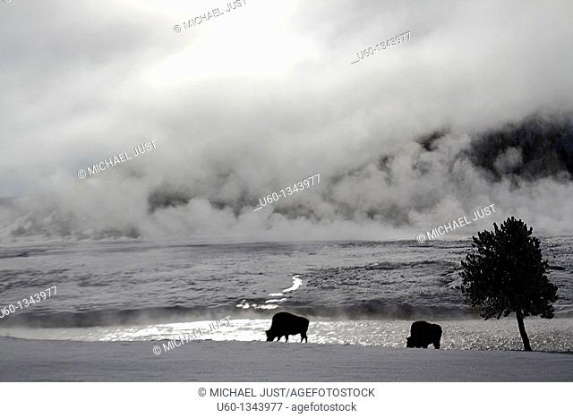 A pair of bison graze along the Firehole River and steam from the Midway Geyser Basin at Yellowstone National Park,Wyoming
