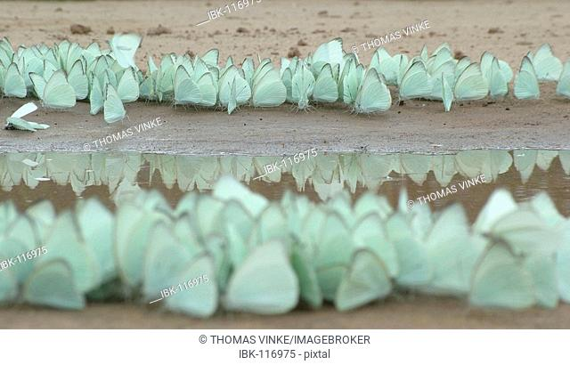 Mass of butterflies (Glutophrissa drusilla) at a puddle Gran Chaco, Paraguay