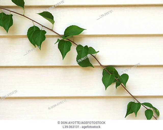 Leaves. Vine on a building in Shelburne Falls, Massachusetts. USA