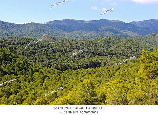 Pine forest, Sierra Espuña Regional Park, Alhama de Murcia, Murcia, Spain