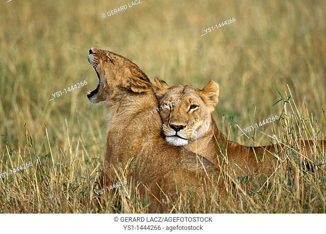 AFRICAN LION panthera leo, FEMALES STANDING ON LONG GRASS, KENYA