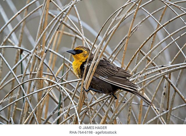Yellow-headed Blackbird (Xanthocephalus xanthocephalus), female, Lac Le Jeune Provincial Park, British Columbia, Canada, North America