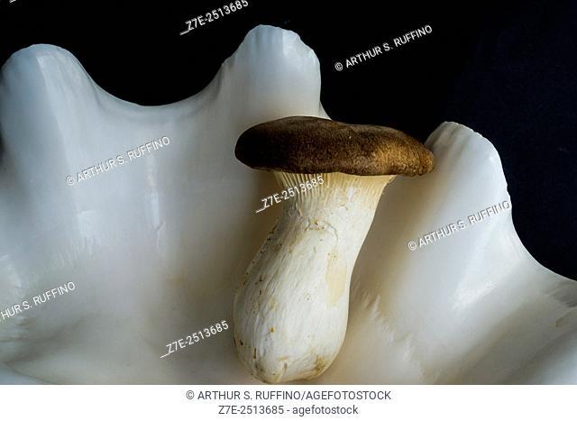 Oyster mushroom in a Tridacna gigas clam shell
