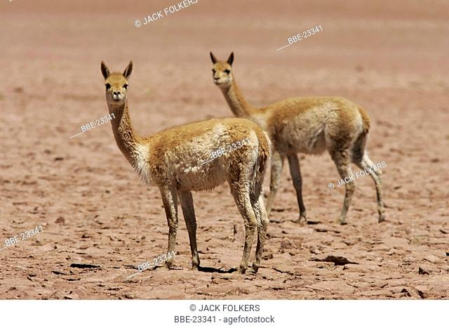 Two Vicunas (Vicugna vicugna) in the Atacama desert