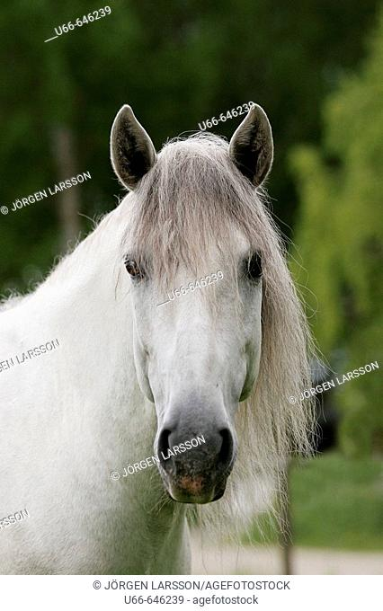 Lusitano horses. Sweden