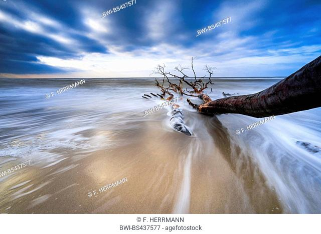 dead tree at the coast of Baltic Sea, Germany, Mecklenburg-Western Pomerania, Darss, Prerow