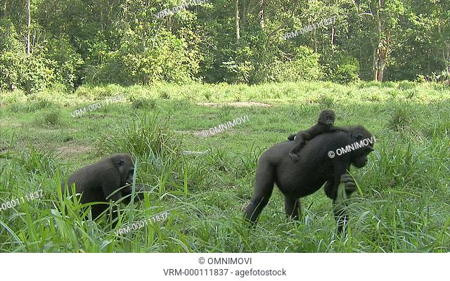 Two Western Lowland Gorillas with one carrying baby standing on forest floor eating with trees behind