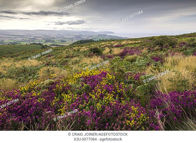 Bell heather and gorse in flower on Beacon Hill in the Quantock Hills in late summer. Weacombe, Somerset, England