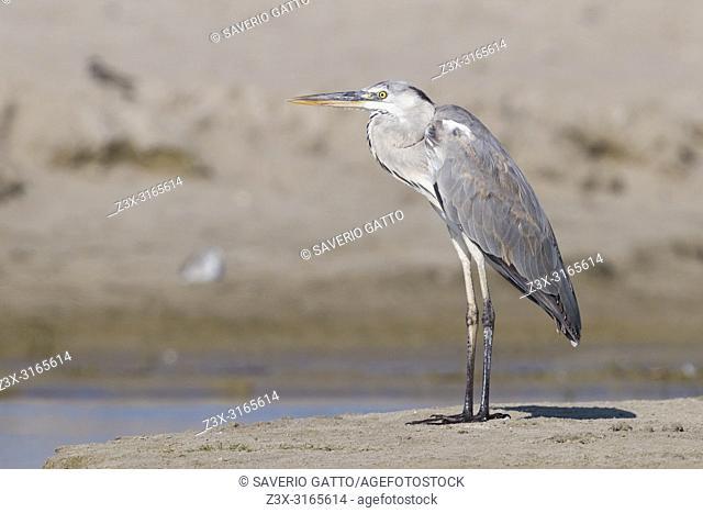 Grey Heron (Ardea cinerea), juvenile standing on a beach