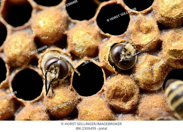 Honey bees (Apis mellifera), drones hatching from brood cells
