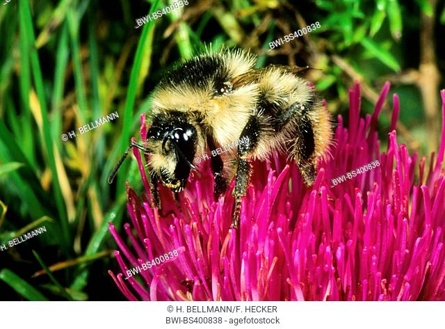 Knapweed carder bee, Shrill carder bee (Bombus sylvarum), sits on a thistle flower, Germany