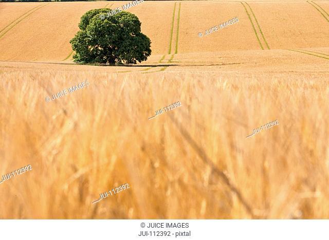 Single tree in sunny rural barley crop field in summer