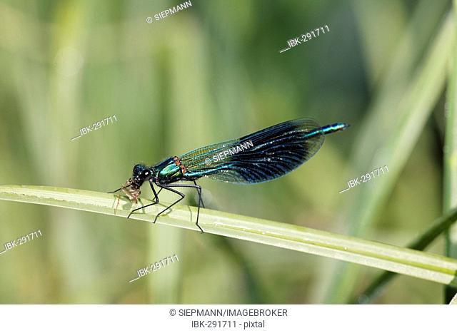 Banded blackwing, banded agrion, banded demoiselle, male, Calopteryx splendens