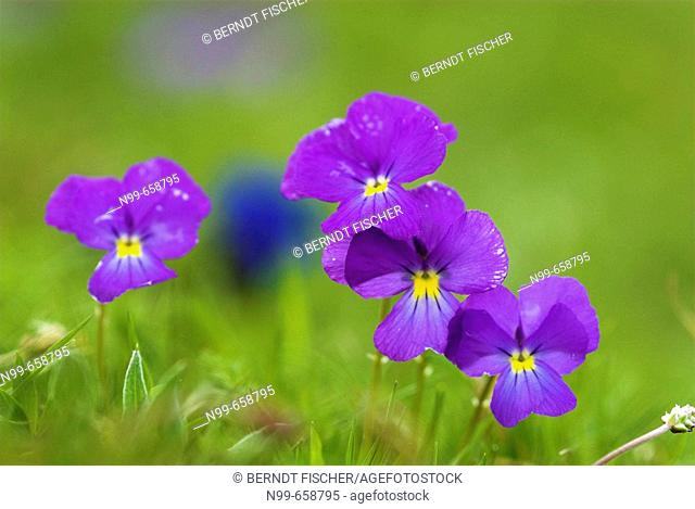 Viola calcarata, flowering alpine pasture, spring in the mountains, National Park des Ecrins, French Alps, Haute Dauphiné, France