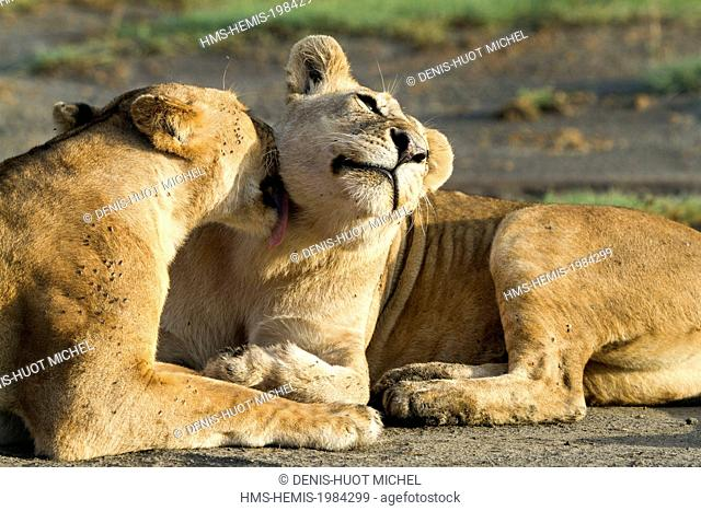 Tanzanie, Ngorongoro national park, lion (Panthera leo), females cleaning themselves