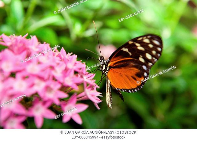 Heliconius hecale, is a species of Lepidoptera belonging to the family Nymphalidae