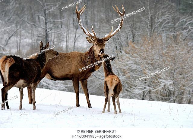 Cerviden, Cervus elaphus, local game, free living person animals, feeding, antlers, antler bearer, deer, deer, hoofed animals, red deer, red deer, red deer