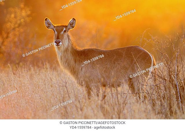 Waterbuck Kobus ellipsiprymnus, at sunset, Kruger National Park, South Africa