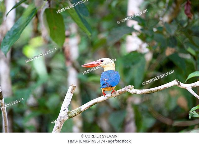 Malaysia, Sabah state, Kinabatangan river, Stork-billed Kingfisher (Pelargopsis capensis)