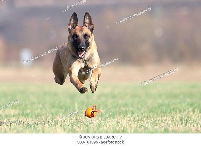 Belgian Shepherd dog - running after a ball