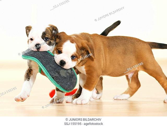 Continental Bulldog - two puppies biting in shoe restrictions: magazines till 09/09