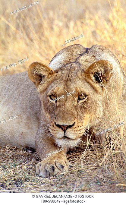 Africa, Botswana, Okavango Delta. Lioness (Panthera leo)
