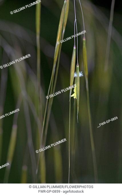 Golden oats, Stipa gigantea, Very close view of one individual spikelets hanging with the tiny star like stamen protruding outside the sepals to be wind...