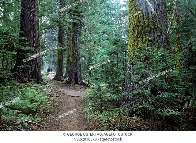 Fir forest along West Eagle Trail, Eagle Cap Wilderness, Wallowa-Whitman National Forest, Oregon