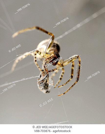 Common Garden Spider (Araneous diadenatus) wrapping prey in silk