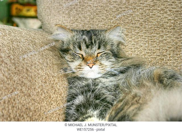 Maine Coon resting in chair