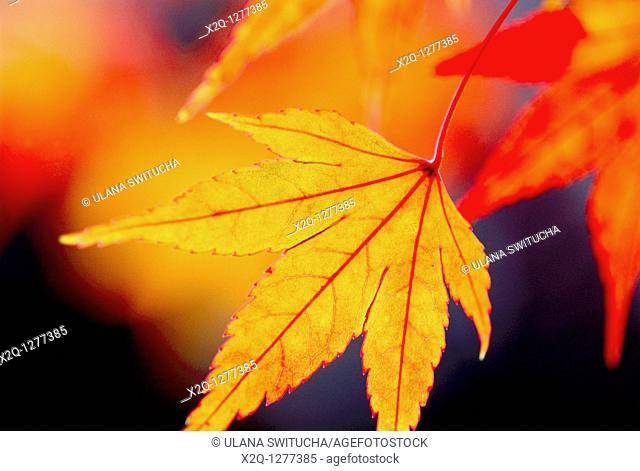 Japanese maple leaf Acer Japonicum branch at Kyoto Japan
