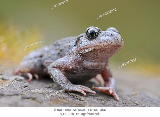 Common Midwife Toad / Geburtshelferkroete ( Alytes obstetricans ), sitting on rocks of an old quarry, frontal side view, detailed shot