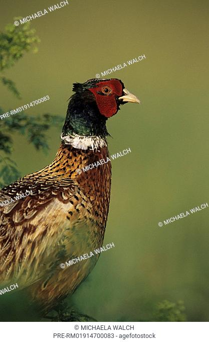 Pheasant, Common pheasant, ring-necked pheasant, Phasianus colchicus