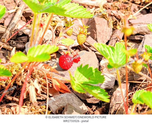 Germany, Rhineland-Palatinate, Pünderich, On the Mosel steep path, strawberries on the edge of the forest, Walderdbeeren shine red and seductive