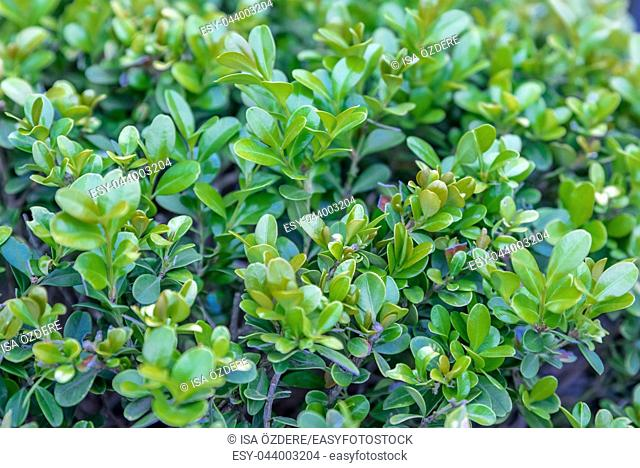 Detail of green buxus sempervirens shrub, branches with leaves. Fresh green buxus leaves in the garden. Buxus sempervirens