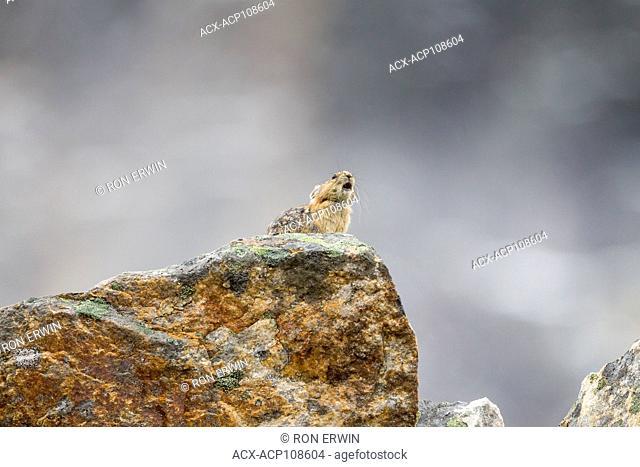 American Pika (Ochotona princeps) calling in Jasper National Park, Alberta, Canada