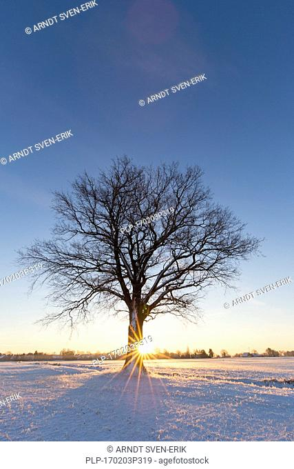 Solitary English oak / pedunculate oak tree (Quercus robur) in snow covered field at sunrise in winter