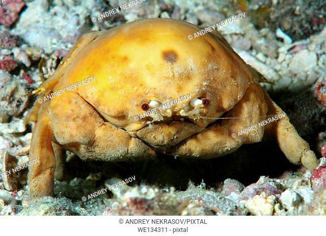 Sponge Carry Crab (Lauridromia dehaani) Shrimp, Bohol Sea, Philippines, Southeast Asia