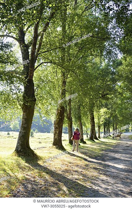 Walking along the shadow of birch trees. Peneda Gerês National Park. Portugal