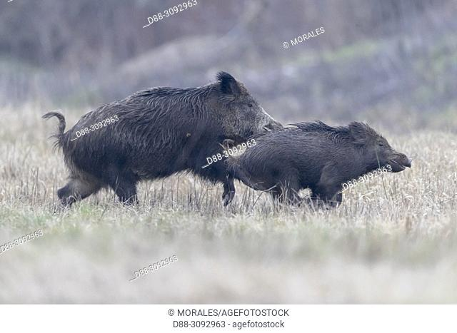 France, Alsace, Rhine forest, Wild Boar (Sus scrofa), running, crossing a meadow