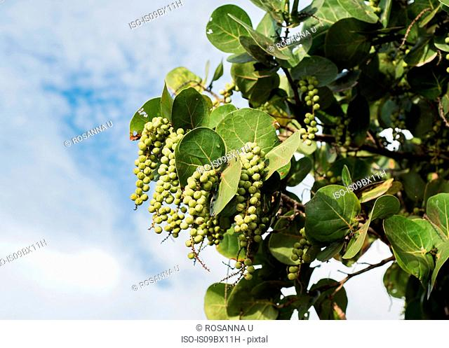 Tree branch bearing fruit