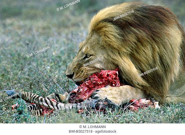 lion (Panthera leo), magnificent male eating from zebra cadaver, Tanzania, Serengeti NP