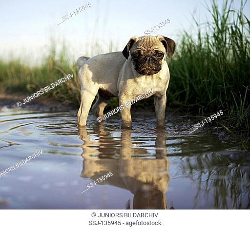 pug puppy - standing in water restrictions: Tierratgeber-Bücher / animal guidebooks