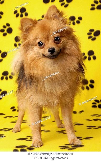 Portrait of a Pomeranian dog