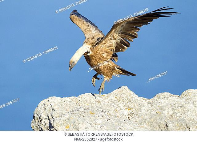 Griffon vulture (Gyps fulvus) at Serra de Tramuntana, Majorca, Balearic Islands, Spain