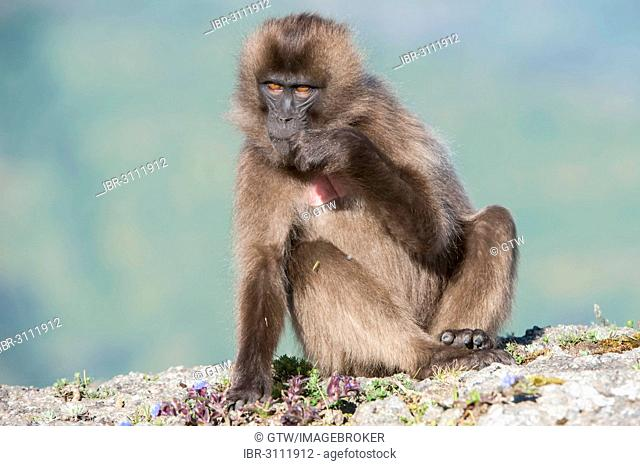 Gelada baboon (Theropithecus gelada), Simien Mountains National Park, Amhara Region, Ethiopia