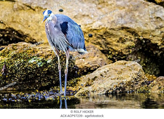 Great Blue Heron, Ardea herodias along the seacoast of northern Vancouver Island, British Columbia, Canada